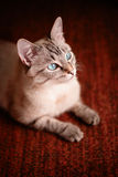 Young cat with beautiful blue eyes Stock Photos