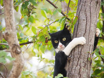 Young cat, black and white, (10). Is hanging on the tree like a monkey Royalty Free Stock Photo