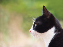 Young cat, black and white, (12), close-up, side view. And white, close-up, side view Stock Image