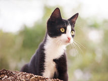 Young cat, black and white (26). Outside Royalty Free Stock Images