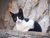 Young cat, black and white (6). A young cat, black and white, nosy looking Stock Photography