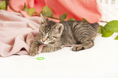Young cat on blanket Stock Photography