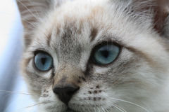 Kitten. Young cat with blue eyes Stock Photos