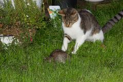 Young cat is catching a rat. Young cat is catching a big rat Stock Photography