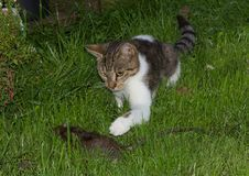 Young cat is catching a rat. Young cat is catching a big rat in the garden Stock Photo