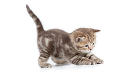 Young cat catching something isolated Royalty Free Stock Images