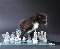 Young cat on chassboard Royalty Free Stock Photos