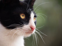 Young cat, close-up (4) Stock Photography