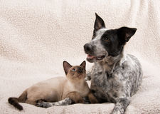 Young cat and dog lying down side by side Royalty Free Stock Images