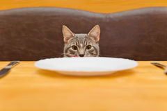 Young cat after eating food from kitchen plate. Focus on a cat Royalty Free Stock Photography