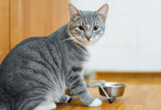 Young cat after eating food from a plate Royalty Free Stock Photography
