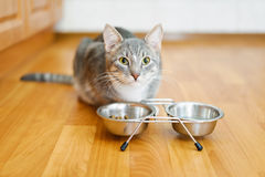 Young cat after eating food from a plate Royalty Free Stock Image