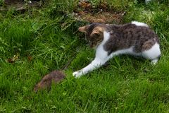 Young cat is fighting with a rat. Young cat is fighting with a big rat Royalty Free Stock Photo