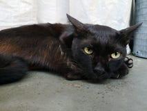 ํYoung cat has black hair, lying on the concrete floor. And staring with green eyes stock photography