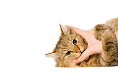 Young cat is hugging the hand Stock Photography