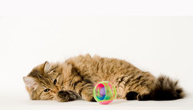 Young cat that is hunting the ball Royalty Free Stock Photos