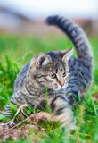 Young cat on hunting grass Royalty Free Stock Image