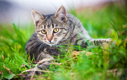 Young cat hunting on grass Stock Photo