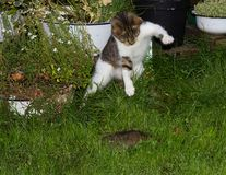 Young cat is hunting a rat. Young cat is hunting a rat and jumps upton it stock photos
