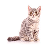 Young cat isolated Royalty Free Stock Photography