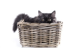 Young Cat Isolated Royalty Free Stock Photo