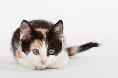 Young cat isolated on white Stock Images