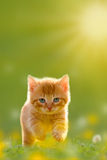 Young cat jumps over a meadow Back Lit. Young cat jumps over a meadow with Back Lit Royalty Free Stock Photo