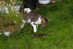 Young cat is killing a rat. Young cat is killing a rat in the garden Royalty Free Stock Image