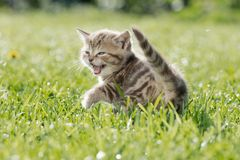 Young cat or kitten meowing in green grass. Little funny cat or kitten meowing outdoor Stock Photo