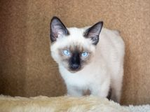 Young cat, kitten of Siam  oriental breed, bobtail Mekong Stock Image