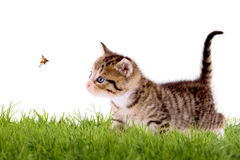 Young cat with ladybug on a green field Royalty Free Stock Photography