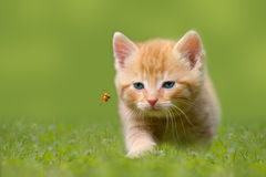 Young cat with ladybug on a green field stock photography