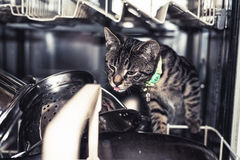 Young cat licking the plates in the dishwasher Royalty Free Stock Image