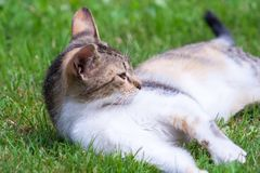 A young cat lies on the grass, rests. And plays royalty free stock photo
