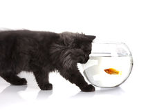 Young Cat looking for fish Royalty Free Stock Photo