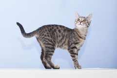 Young cat looking up Royalty Free Stock Photo