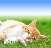 Young cat. Lying in the grass Stock Photo