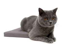 Young cat lying on a pillow isolated on white background Royalty Free Stock Photos