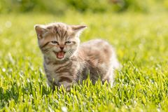 Young cat meowing in grass. Funny cat meowing in green grass Royalty Free Stock Image