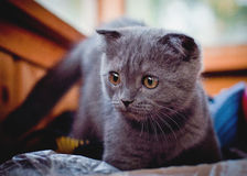 Young cat. My young cat named bosya Royalty Free Stock Images