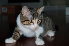 Young cat nestling on the floor. Foreground a white and striped young cat while he is playing royalty free stock images