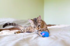 Young Cat Play Stock Photography