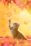 Young cat playing in autumn leaves Stock Photos