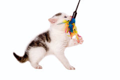 Young cat playing with cat toys Royalty Free Stock Photos