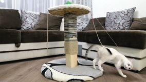 A young cat is playing with a claw post. A young cat is playing with a claw post stock video footage
