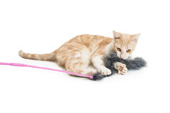 Young Cat Playing With Feather Toy Royalty Free Stock Image