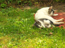 Young cat playing with mother. On the grass Stock Images