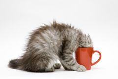 Young cat plays with a cup Stock Image