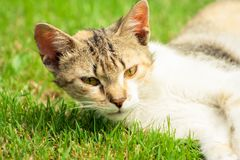 Young cat with raised head is lying on the grass. Kitten on the meadow royalty free stock photo