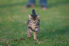 Young cat on the run. Young tigger cat running in grass stock photo